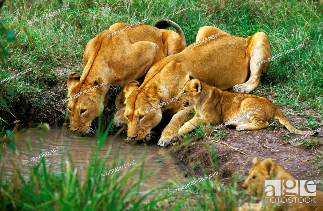 Stock Photo: African Lion, panthera leo, Females with Cub Drinking at Water Hole, Kenya.