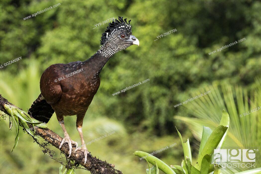 Stock Photo: Great Curassow (Crax rubra) Female - La Laguna del Lagarto Lodge - Boca Tapada, San Carlos, Costa Rica.