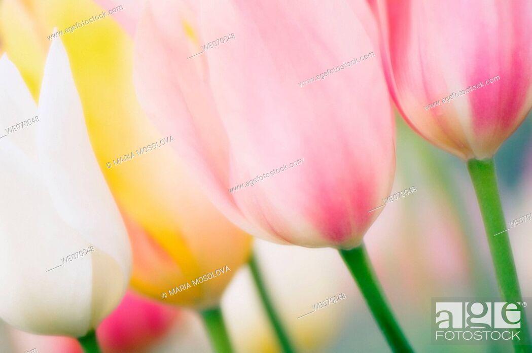 Stock Photo: Pastel Tulips. Tulipa hybrid. April 2007, Maryland, USA.