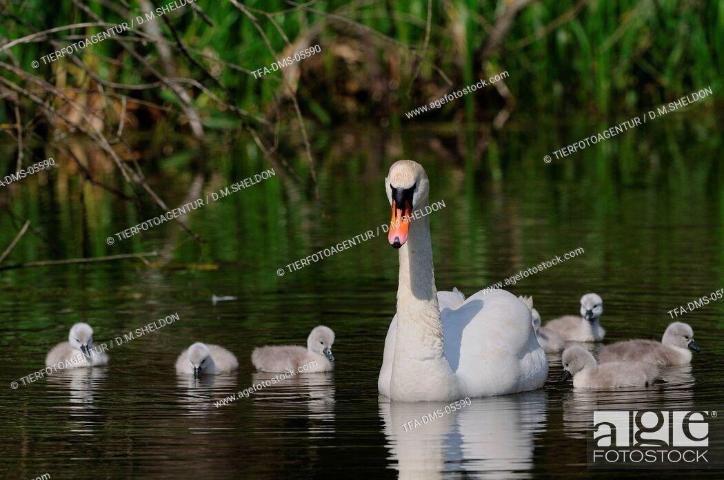 Imagen: mute swans.