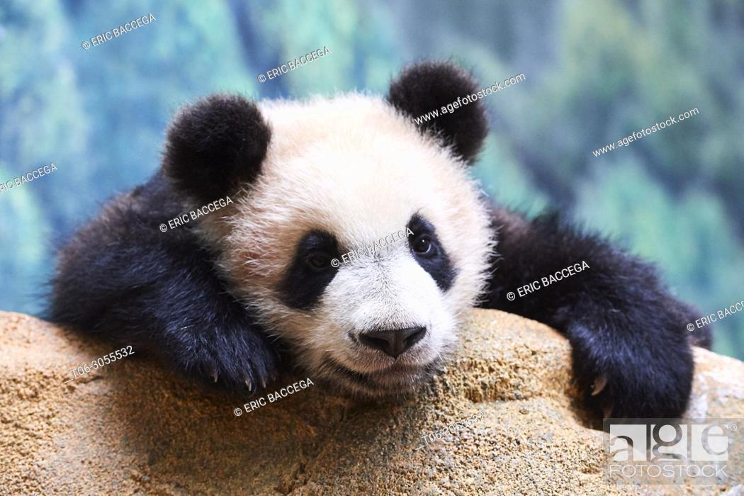 Stock Photo: Playfull giant Panda cub (Ailuropoda melanoleuca) investigating its enclosure. Yuan Meng, first giant panda ever born in France, is now 8 months old.