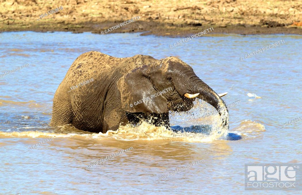 Stock Photo: African Elephant Loxodonta africana, in the river, Shingwedzi river, Kruger National Park, South Africa.