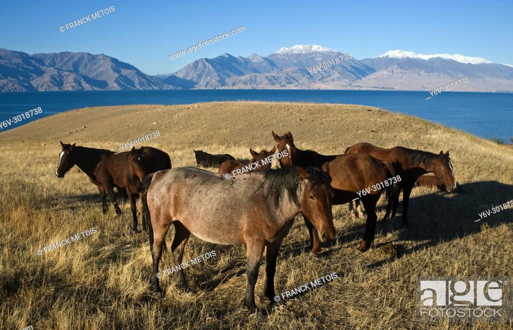 Stock Photo: Horses + Toktogul dam ( Kyrgyzstan).
