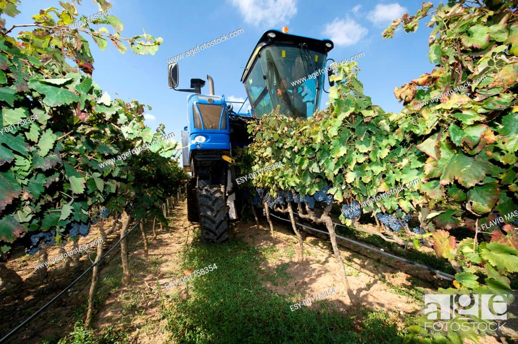 Imagen: Harvesting with machine in a vineyard in Salento region, South-east Italy.