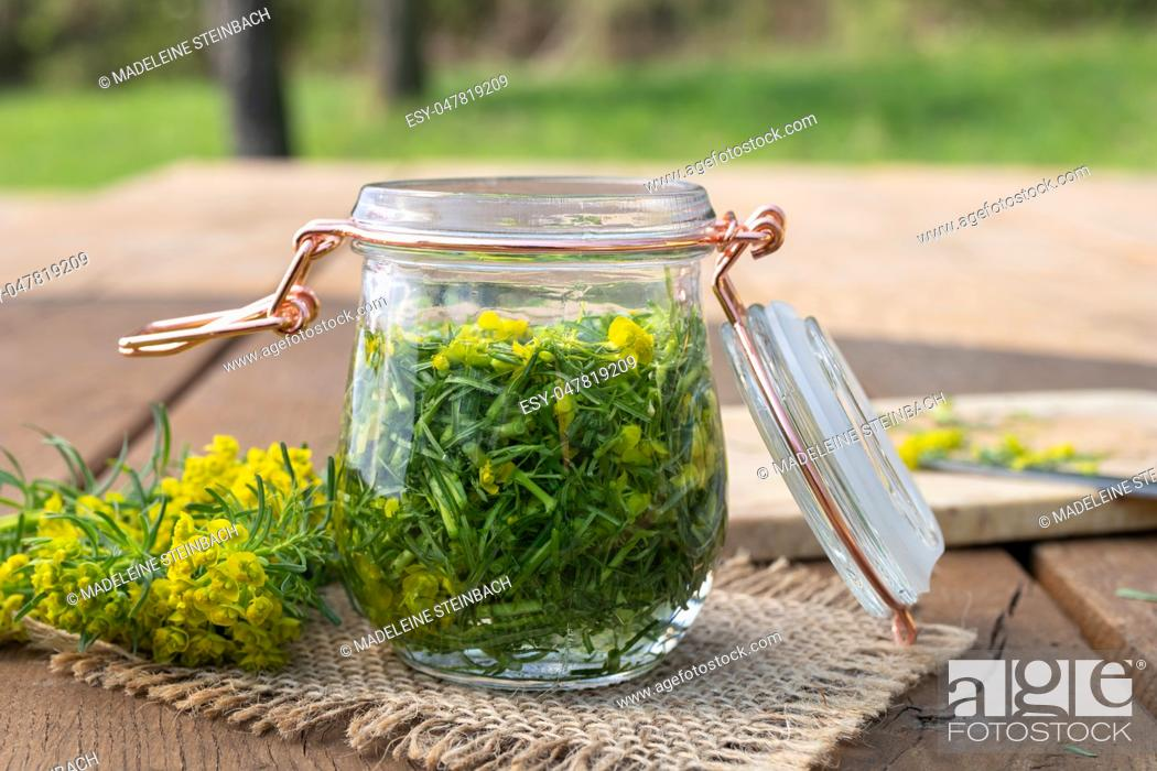 Stock Photo: Preparation of herbal tincture from cypress spurge in a jar.
