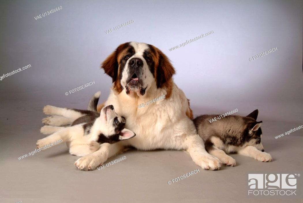 Stock Photo: pose, st bernard, house pet, canines, domestic, S2saint bernard.