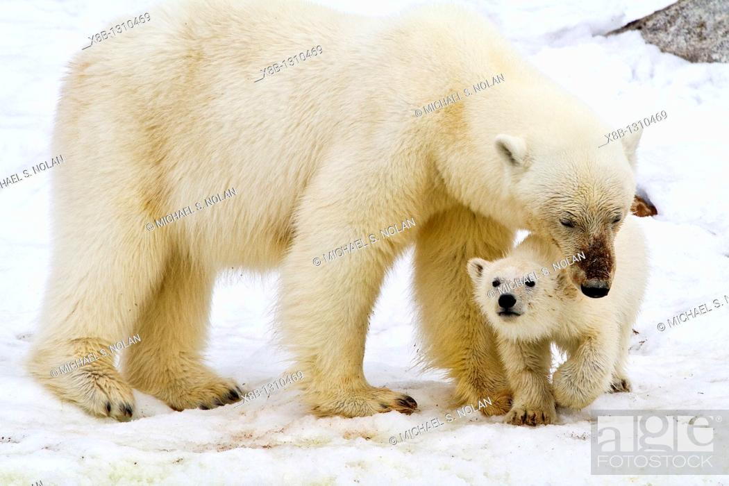 Stock Photo: Mother polar bear Ursus maritimus with COY cub-of-year in Holmabukta on the northwest coast of Spitsbergen in the Svalbard Archipelago.