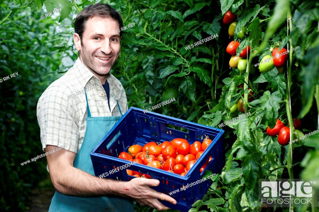Stock Photo: Germany, Bavaria, Munich, Mature man harvesting tomatoes in greenhouse.