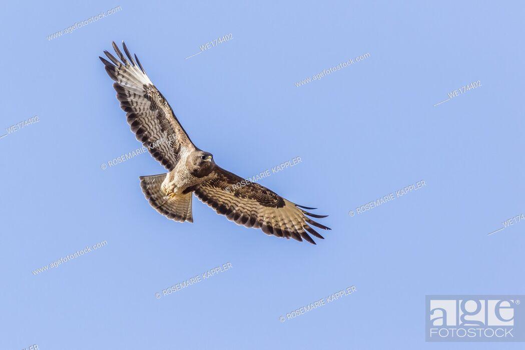 Stock Photo: A common buzzard in flight over homburg in saarland.