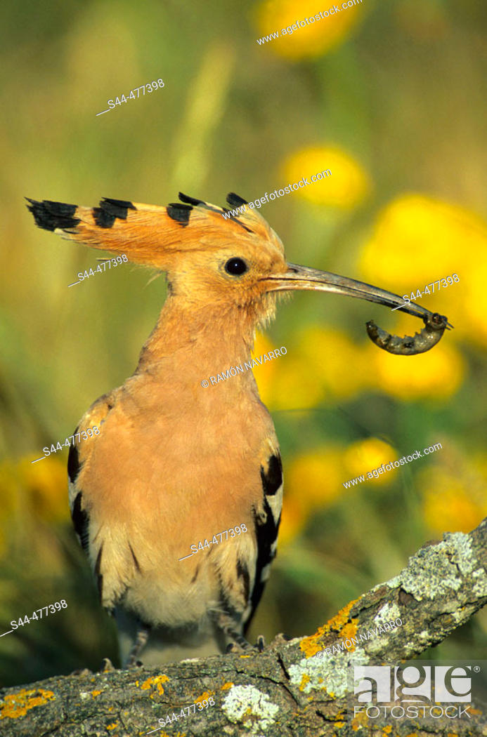 Stock Photo: Hoopoe (Upupa epops). Málaga, Andalusia, Spain.