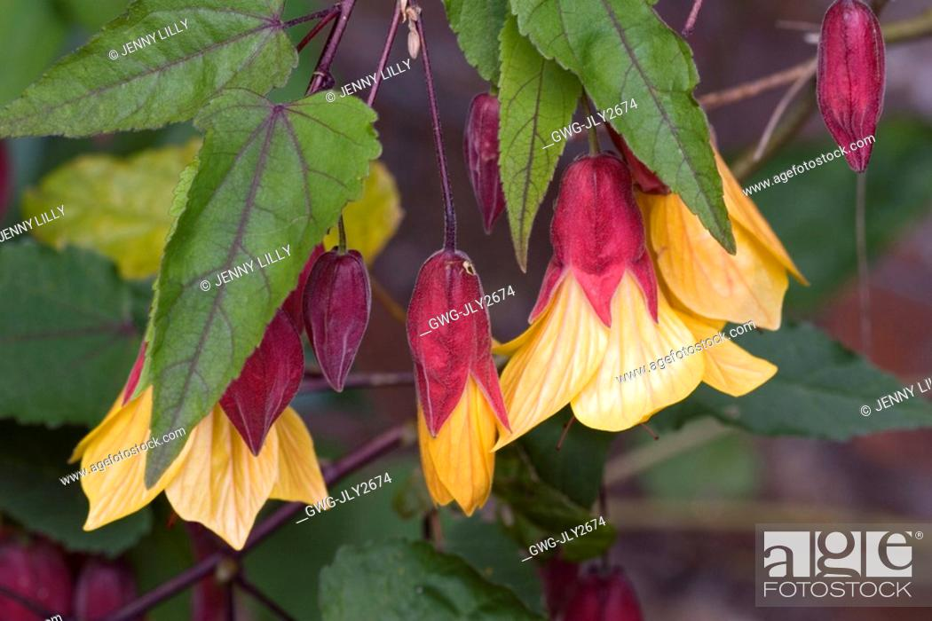 Abutilon Kentish Belle Stock Photo Picture And Rights Managed