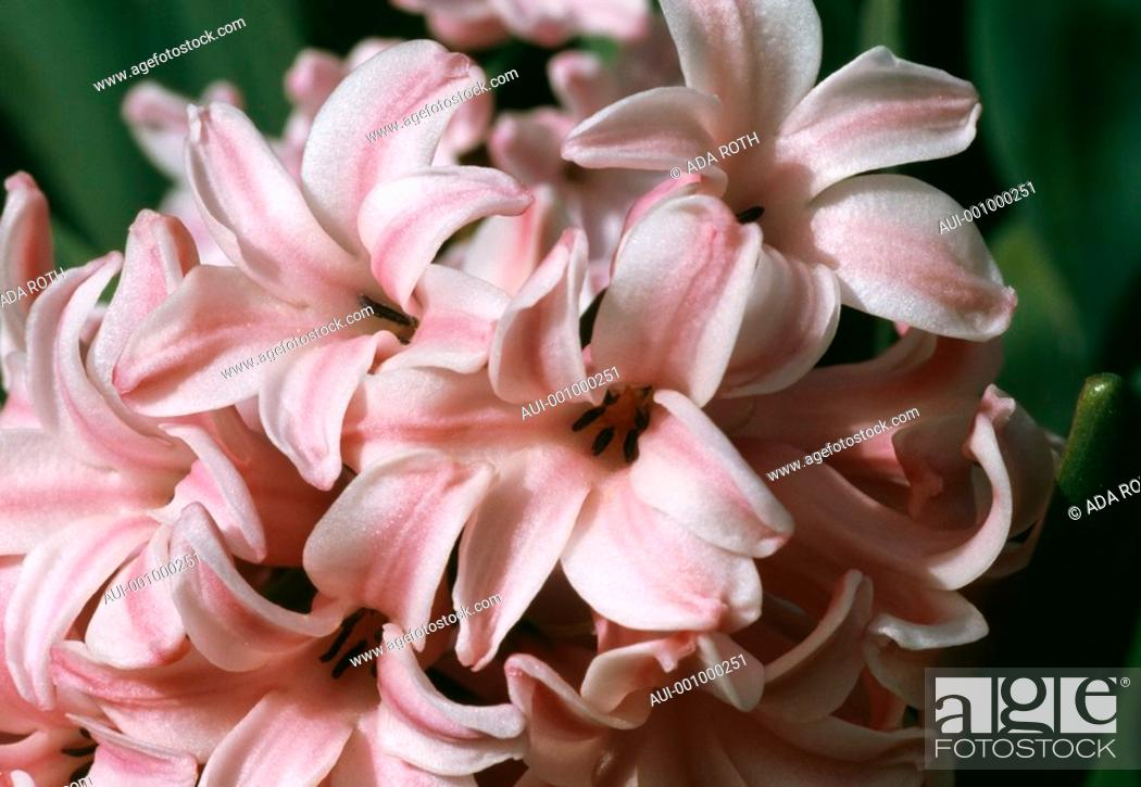 Stock Photo: Hyacinth - fairy - a charming cluster of tender and perfumed flowers - spring is in the air.