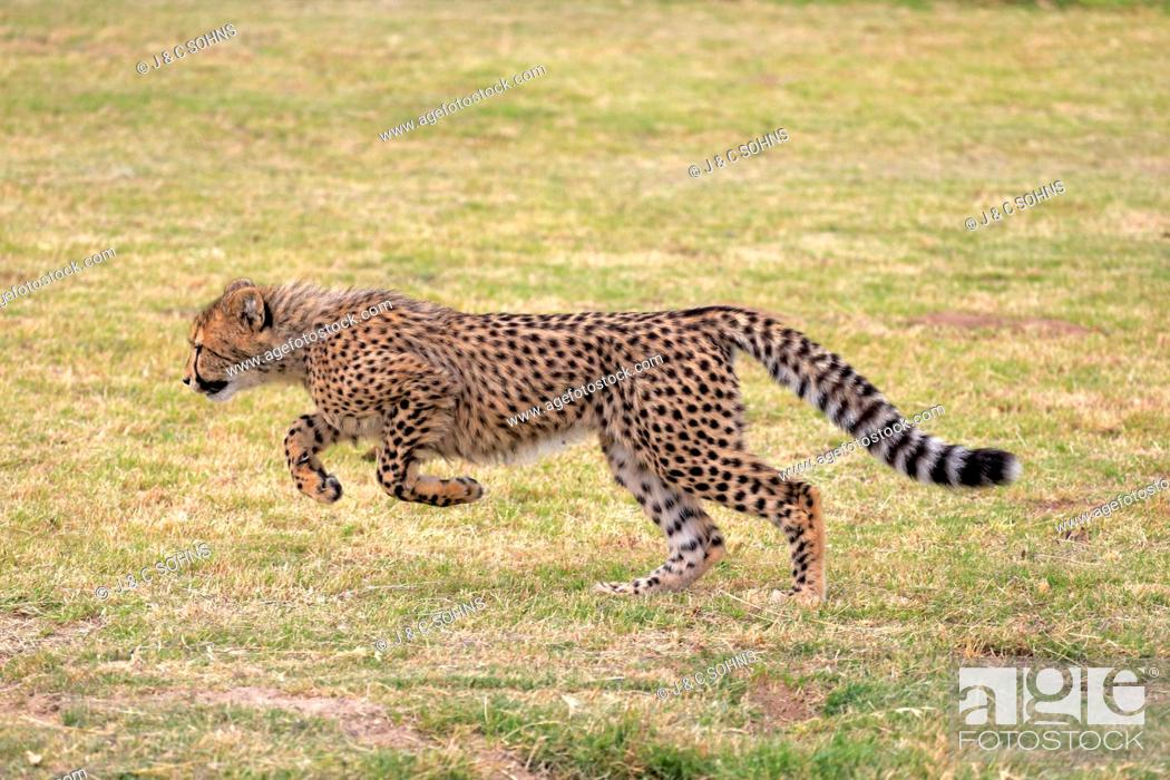 Stock Photo: Cheetah, (Acinonyx jubatus), subadult running, Western Cape, South Africa, Africa.