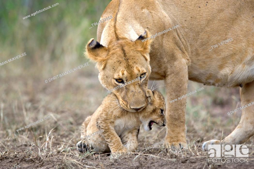 Stock Photo: African Lion and Cub Panthera leo leo iucn status - vulnerable mother and child masaimara kenya.