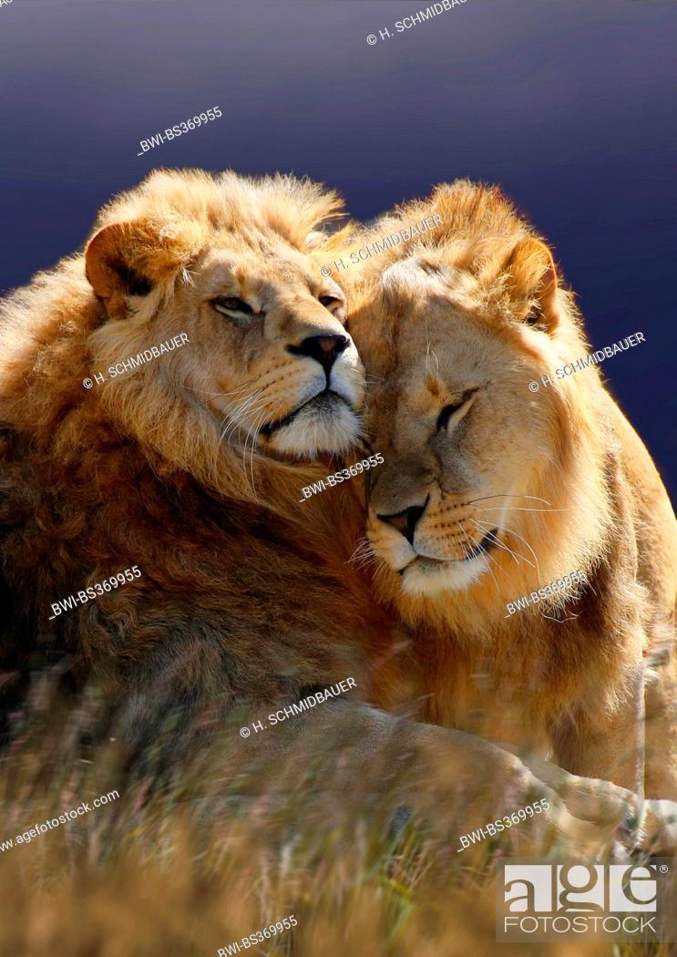 Imagen: lion (Panthera leo), two smooching lions, Tanzania, Serengeti National Park.