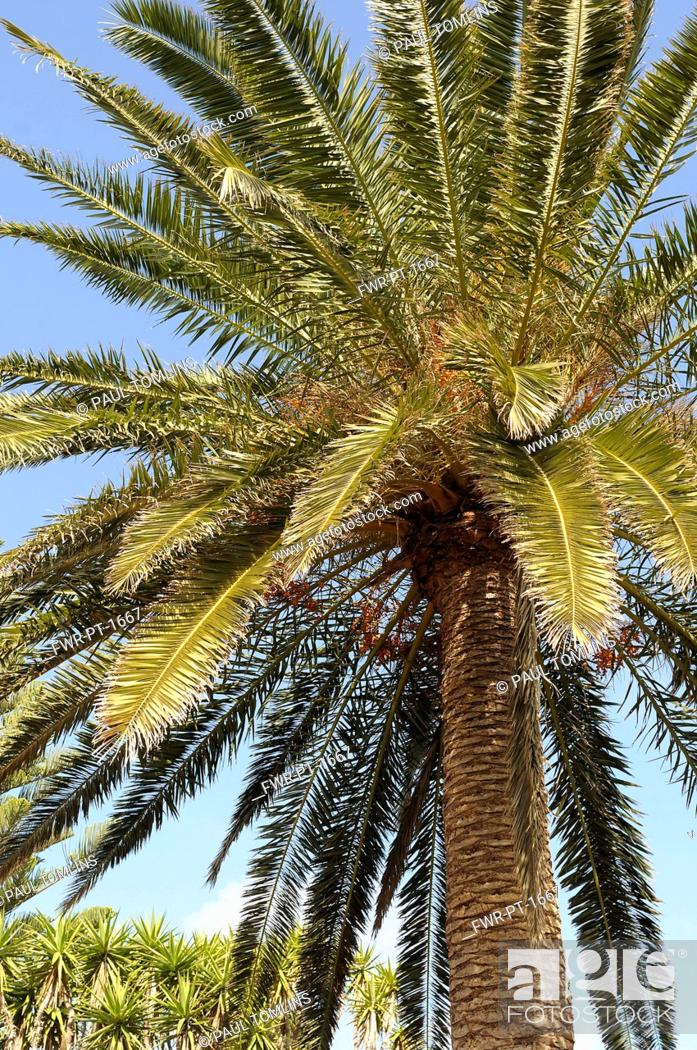 Imagen: Palm, Date Palm, Phoenix canariensis, Detail of tree against clear blue sky.-.