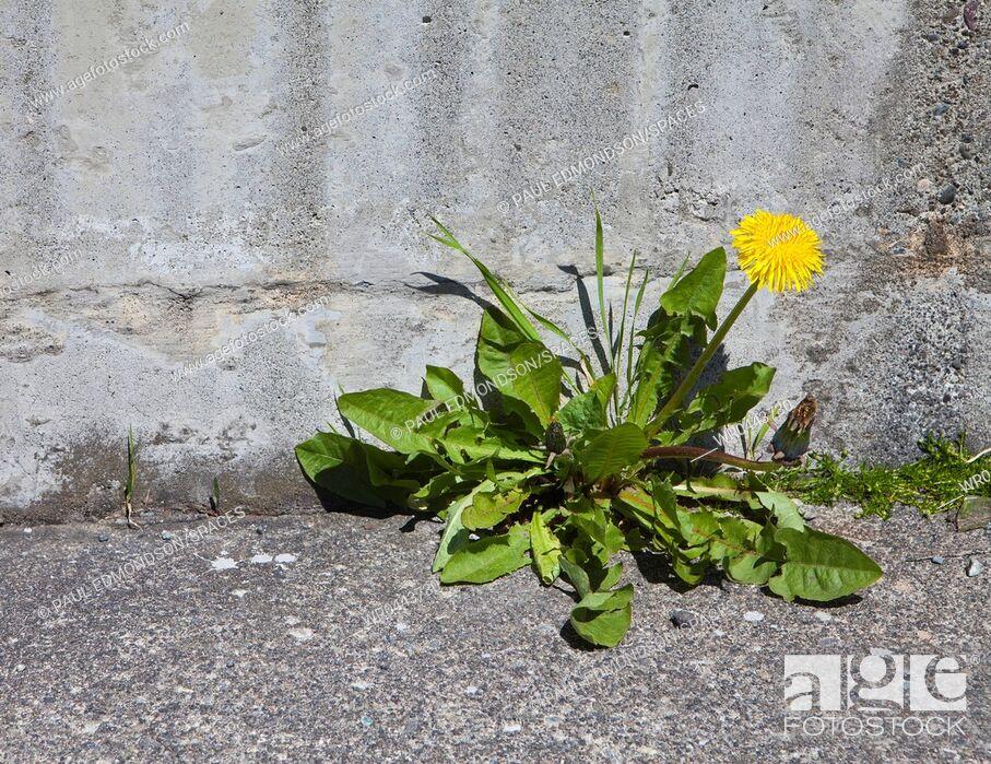 Imagen: Blooming Dandelion Along a Sidewalk Edge.