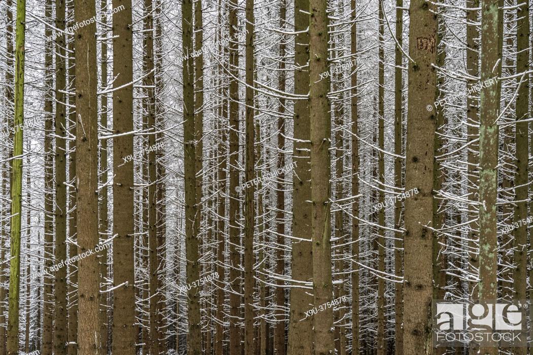 Stock Photo: Verschneiter Wald im Sauerland, Sundern, Hochsauerlandkreis, Nordrhein-Westfalen   Snowy forest in Sundern, Hochsauerland district, North Rhine-Westphalia.