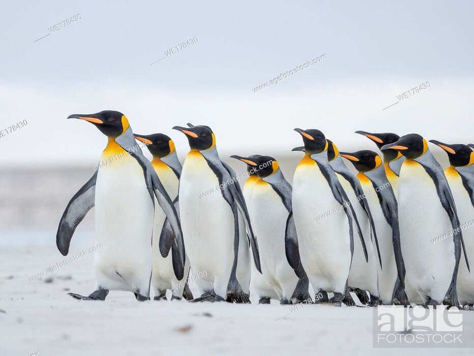 Imagen: King Penguin (Aptenodytes patagonicus) on the Falkland Islands in the South Atlantic. South America, Falkland Islands, January.