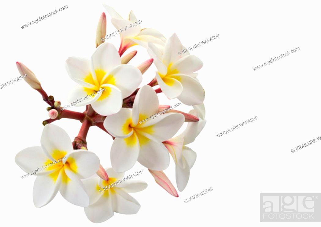 Stock Photo: Plumeria flowers isolated on white background and clipping path.