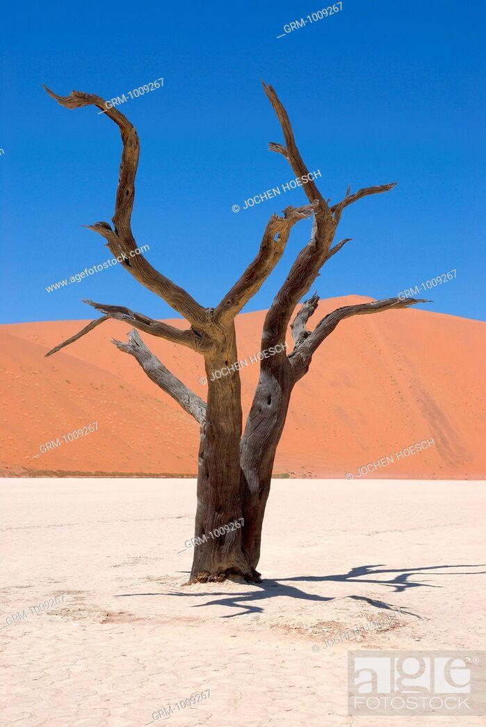 Stock Photo: Trees in the Sossusvlei, Namibia.