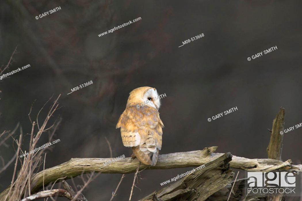 Stock Photo: Barn owl (tyto alba) perched on fallen tree, Norfolk, Uk.
