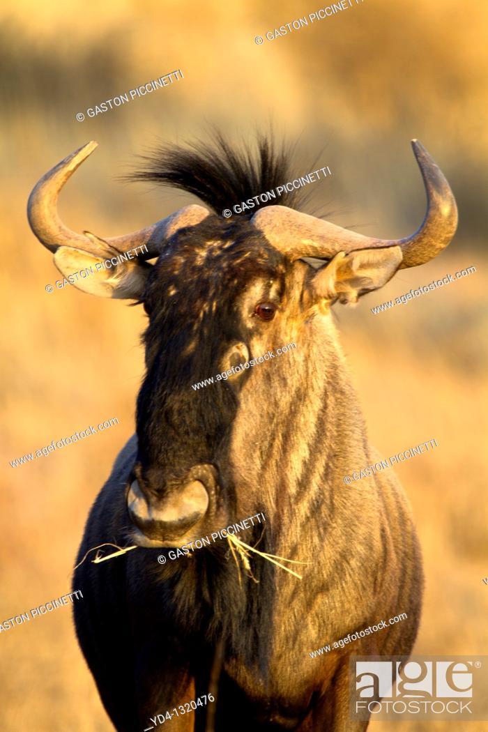 Stock Photo: Bluewildebeest Connochaetes taurinus, eating, Mata Mata, Kgalagadi Transfrontier Park, Kalahari desert, South Africa.