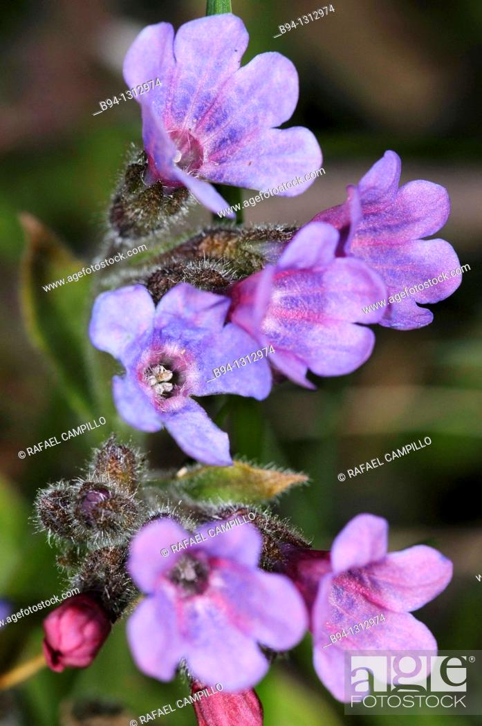 Stock Photo: Lungworts flowers, Pulmonaria officinalis. Fam. Boraginaceae. Osseja. Languedoc Roussillon. Pyrénées Orientales. France.