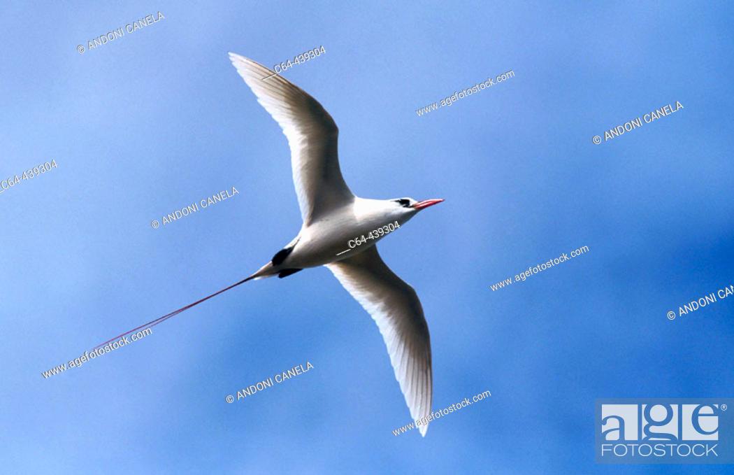 Stock Photo: Red-tailed Tropicbird (Phaeton rubricauda). Kauai island. Hawai.