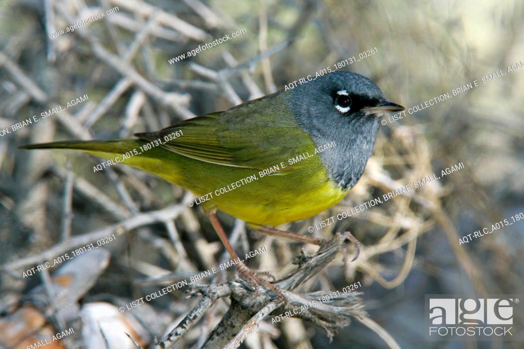 Stock Photo: MacGillivray's Warbler, Geothlypis tolmiei.