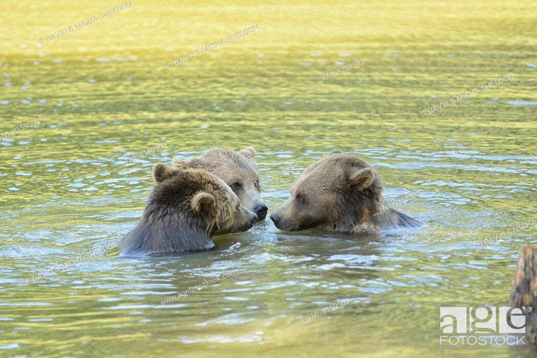 Stock Photo: Three brown bears playing in a lake.