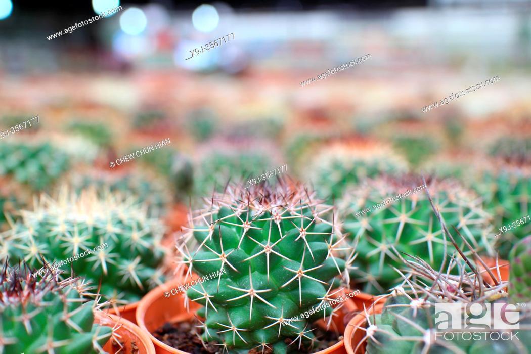 Stock Photo: Succulent cactus plants in pots,cactus garden, cameron heightland, pahang, malaysia.