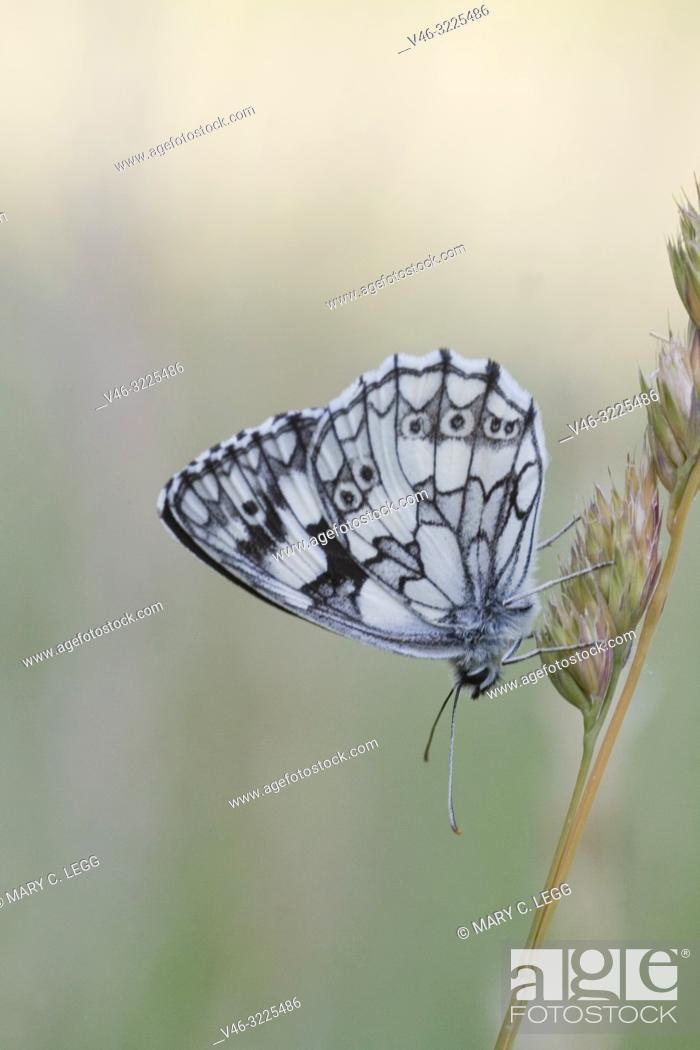 Stock Photo: Marbled White, Melanargaria galanthea. Large white butterfly with black marbling. Wingspan: 46-56. Host plants: Brachypodium pinnatum, Bromus erectus.