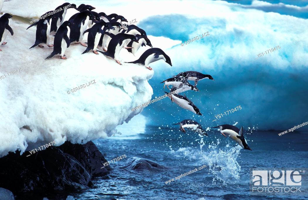 Stock Photo: Adelie Penguin, pygoscelis adeliae, Group Leaping into Ocean, Paulet Island in Antarctica.