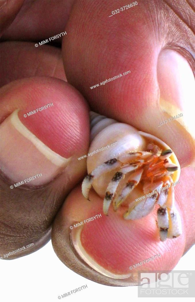 Imagen: tiny crab lives inside shell of another creature, Tahiti.