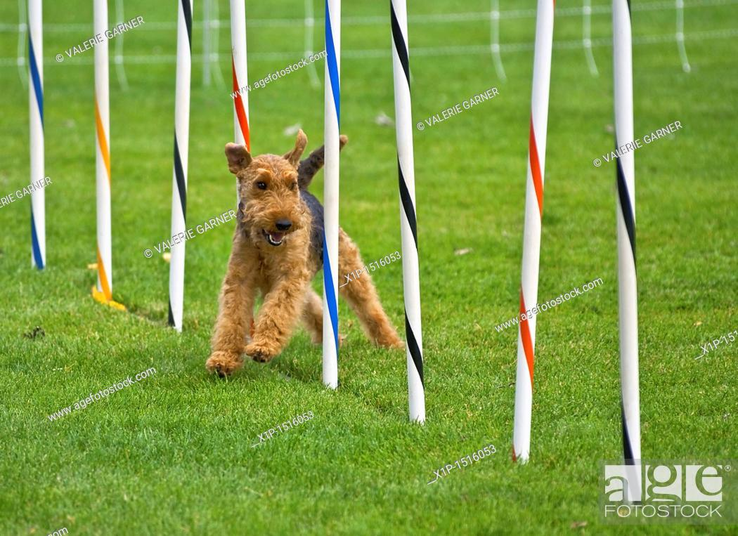 Stock Photo: This airedale terrier dog is running in a dog show, through an obsticle course, weaving through poles  Taken on Sept  16, 2010 in Oak Harbor, Washington.