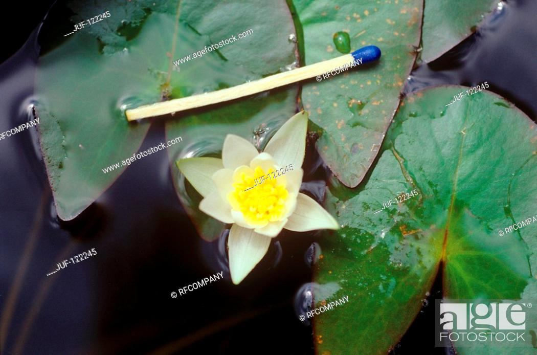 Stock Photo: comparison : pygmy water-lily and match.