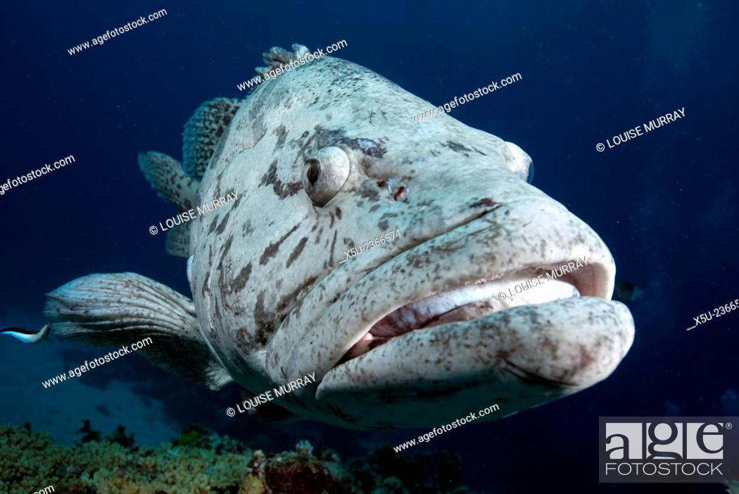 Imagen: Potato cod, Epinephelus tukula also known as the potato grouper or potato bass. A large family of these fish live at Cod Hole, North Ribbon reef.