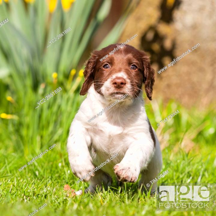 Stock Photo: A 6 week old English Springer Spaniel puppy in the Uk.