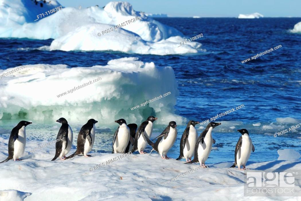Stock Photo: Adélie Penguins Pygoscelis adeliae on ice flow  Paulet Island, Antarctic Peninsula.