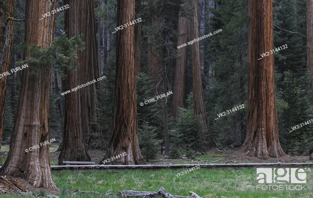Stock Photo: Sequoia Grove Sequoia National Forest, California.