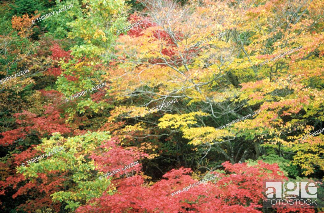 Stock Photo: South Korea, Sorak mountains, maple tree at fall.