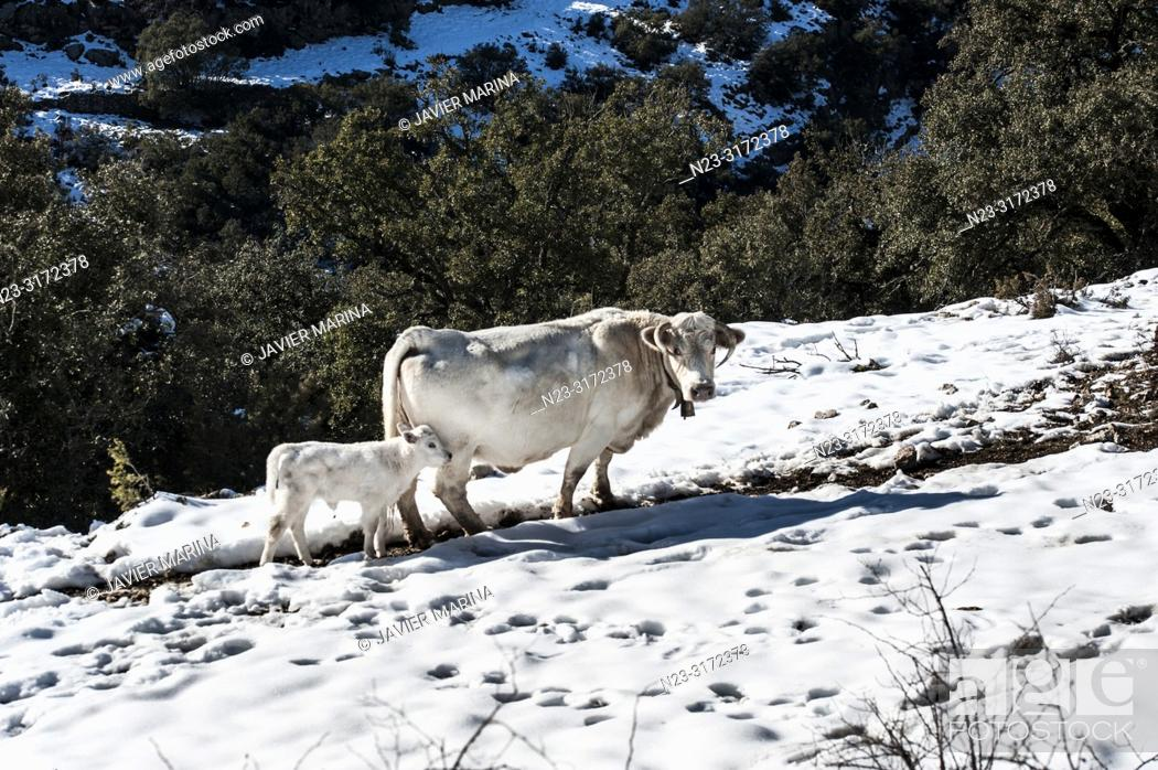 Stock Photo: Cows in the mountain pass of Torre Miró, Morella, Castellón, Spain.