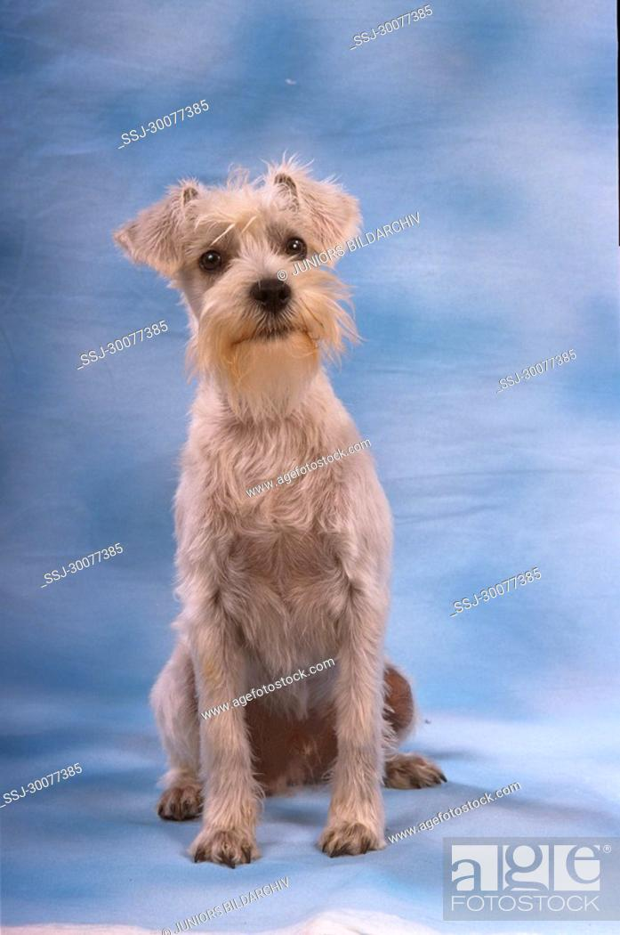 Stock Photo: Miniature Schnauzer - sitting frontal.