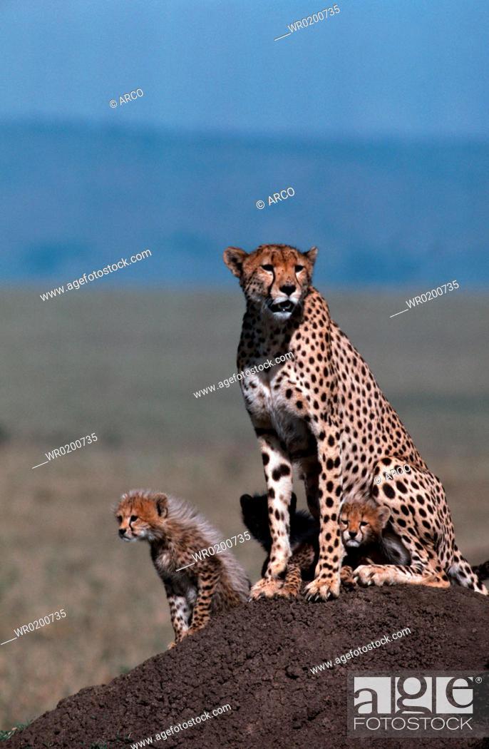 Stock Photo: Cheetahs, female, with, cubs, Massai, Mara, Game, Reserve, Kenya, Acinonyx, jubatus.