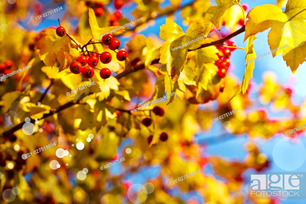 Fall Background With Yellow Leaves Red Berries In Front Of Blue