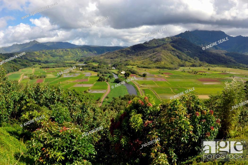 Stock Photo: Traditional hawaiian taro plantation, Colocasia esculenta, family Araceae, viewed from th Hanalei Valley Lookout, Kauai, Hawaii, USA.
