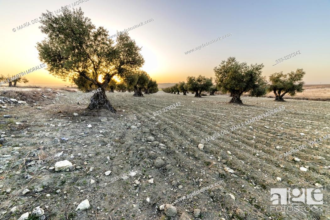 Photo de stock: Sunrise at the olive grove in Pinto. Madrid. Spain. Europe.