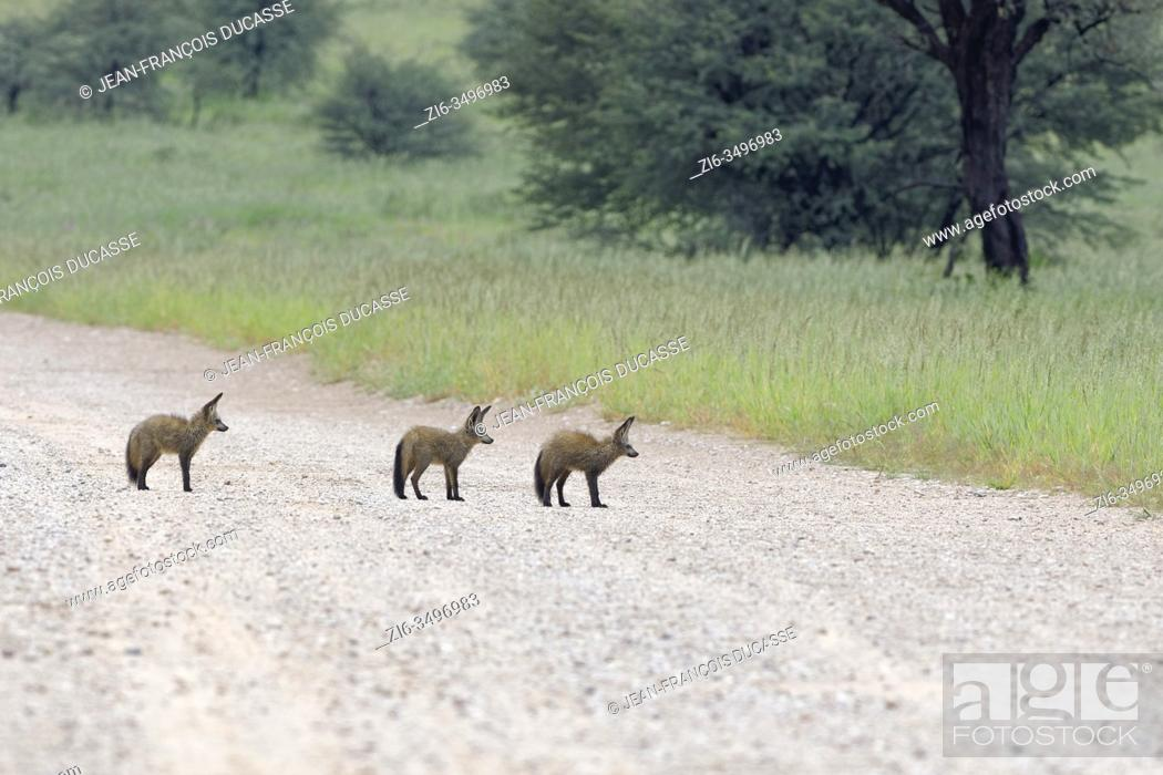 Stock Photo: Bat-eared foxes (Otocyon megalotis), young animals, standing in the middle of a dirt road, Kgalagadi Transfrontier Park, Northern Cape, South Africa, Africa.