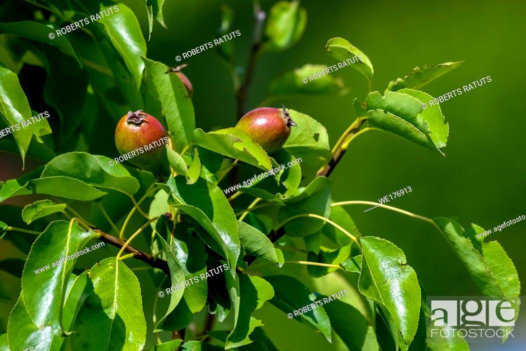 Stock Photo: Little pears on tree branch. Unripe pears on tree. Pears in garden. Summer fruits in Latvia.
